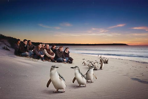 Paket Phillip Island - Penguins Up Late