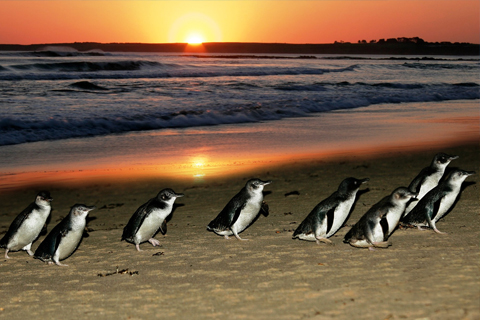Paket 1 Day Phillip Island Penguin Parade & Wildlife Adventure